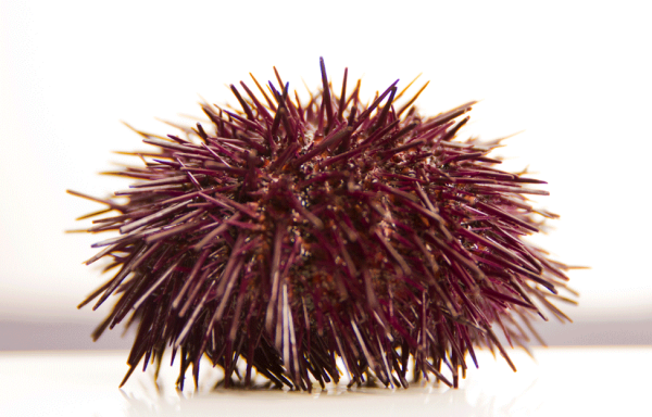 26. SEA URCHINS