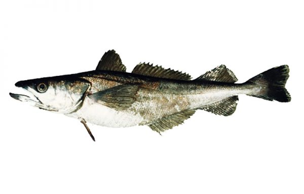 2. WHITING, Chilean HAKE